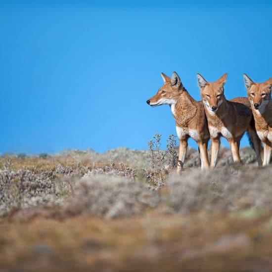 Ethiopia Wildlife Tours Ethiopian Wolf