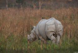 Kaziranga Rhino Photo Safari