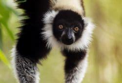 Lemur, Madagascar Photography Tours