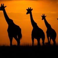 Kenya Photography Tour - Giraffe