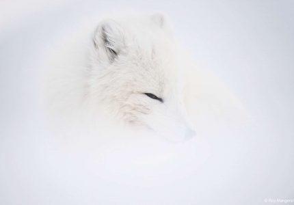 Arctic Fox - Svalbard Photography Tour
