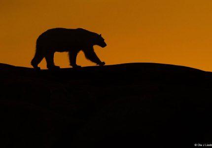 Polar Bear Svalbard Photography Tours
