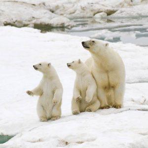 Russia photo tours - polar bears