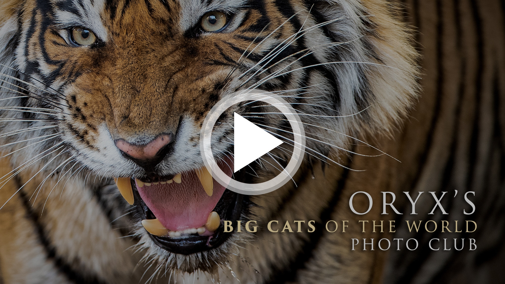 ORYX's Big Cats of the World video