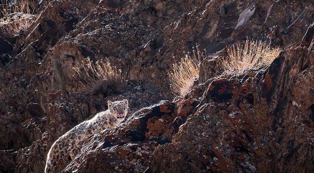 snow leopard tour